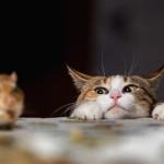 キャットフードは栄養バランスと味を考えて選びたい!愛猫の好みを知ろう!