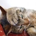 健康な猫がキャットフードを吐く原因とは!?早食い、食事が合っていない、病気、対処法