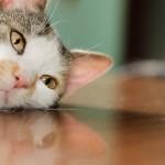 猫の目の病気や猫風邪の種類とその原因について!結膜炎、角膜炎、涙腺症、ウイルス