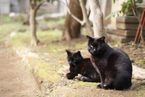 黒猫  横切られる 縁起 幸運 不吉