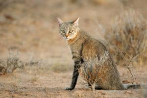 リビアヤマネコ 猫 祖先