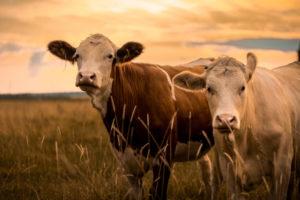 牛肉 キャットフード