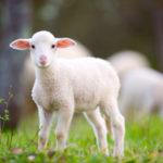 ラム肉 キャットフード 羊
