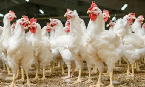 チキン キャットフード 鶏肉