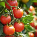 キャットフード トマト