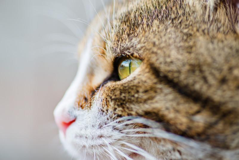 猫 角膜分離症