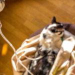 猫 多発性囊胞腎