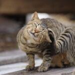 猫 アトピー性皮膚炎